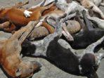 Pemda Sinjai Basmi Ratusan Anjing Liar