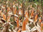 Kemarau, Hasil Panen Jagung Petani Menurun